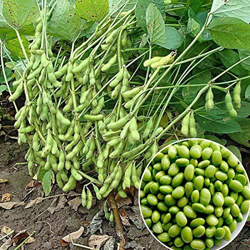 GETSO Las Semillas del Paquete: 25 PC Verdes Semillas de Soja de Edamame vehículos orgánicos Semillas