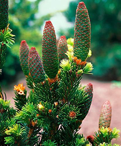 Keland Garten - 50pcs Selten Coloradofichte 'Lucky Strike' - Bäume Saatgut Baumsamen Blumensamen wintergart mehrjährig, geeignet für Garten/Balkon