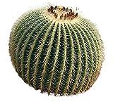 Goldkugelkaktus -Echinocactus grusonii- 25 Samen (Auch ?Schwiegermutterstuhl? genannt) -