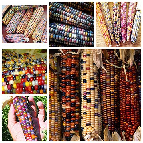 20 doux arc-en-maïs Semences de maïs grains colorés Céréales Graines de haute qualité des légumes pour jardin Facile à cultiver Livraison gratuite Violet