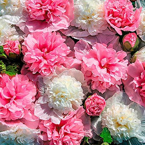 Keland Garten - Raritäten Stockrosen-Mischung The Bridesmaid stark gefüllt, Blumensamen Mischung winterhart mehrjährig auf Terrasse & Balkon