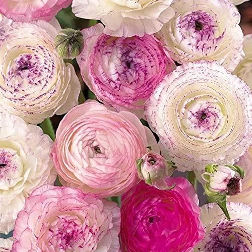 15 Stück Mix Ranunkel Zwiebeln Frühling Gartenpflanzung Pflanzen mehrjährige Blumenzwiebeln Sommer Blumenzwiebel Balkon Hofdekoration im Freien Leicht zu überleben
