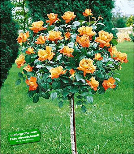 BALDUR-Garten Rosen-Stämmchen 'Maja Oetker®', 1 Rosenstamm