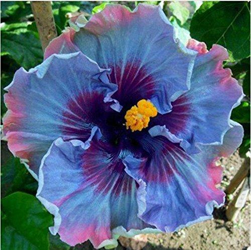 100 particules/sac géant Hibiscus Flower Garden Seeds & Home vivaces Plantes en pot de fleurs heureux ferme Hibiscus Bonsai Semence Blanc