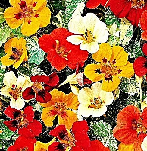 100 Kapuzinerkresse Samen, Tropaeolum majus 'Jewel of Africa', Kletterpflanze bis 3m