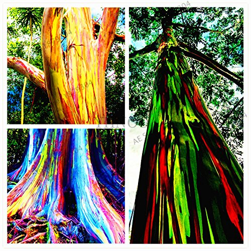 100pcs/pack seltene Regenbogen-Eukalyptus-Samen, Bonsai-Baum-Samen Hof Anlage für zu Hause Garten Bepflanzung Topf