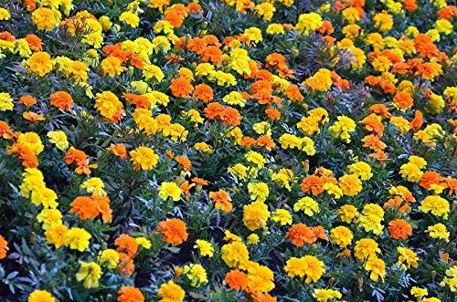Souci français - jaune + orange, un ensemble de graines de deux variétés - 2 paquets de graines