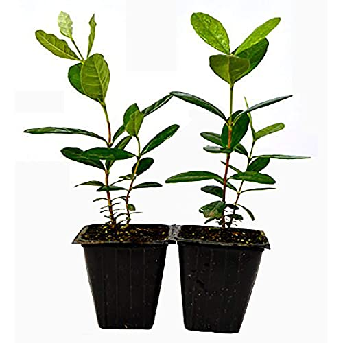 Guava Plants: Amazon com
