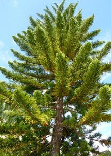 Tropica Lot de 5 semences de pin de Norfolk (Auraucaria heterophylla)