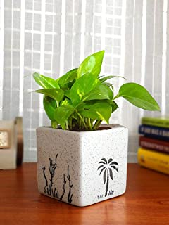 Rolling Nature Good Luck Money Plant in White Square Aroez Ceramic Pot