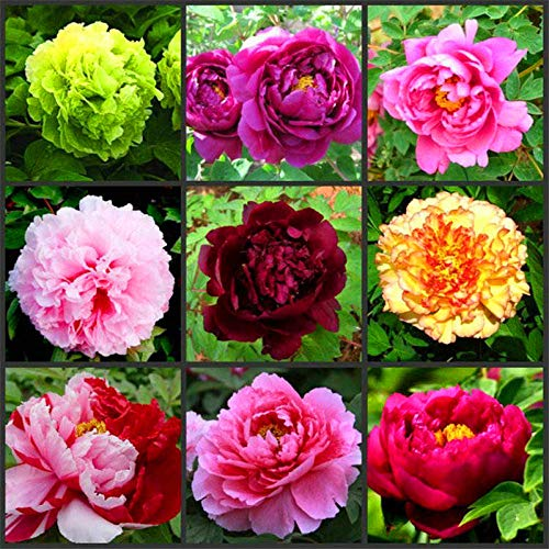 Eastbride Pflanzen für Balkon und Terrasse,30 Stück Pfingstrosensamen, leicht zu pflanzende Blüten in Vier Jahreszeiten - schwarz,samen für Hausgarten,Balkon,Terrasse