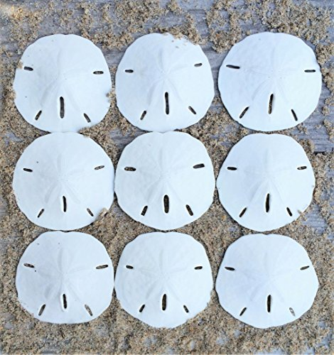 "Nautical Crush Trading Sand Dollar | Real Sand Dollars 2 1/2""-3"" (Set of 9) 