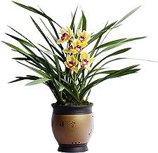 Best fragrant cymbidium orchids Reviews