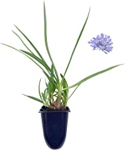 Dwarf Lily of The Nile - Agapanthus Peter Pan - 3 Live Plants - Evergreen Perennial
