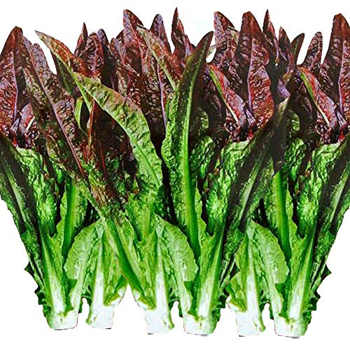 Graines de laitue romaine rouge, 3000+ graines d'héritage de qualité supérieure, en vente, non OGM biologique, taux de germination de 90%, plus haute qualité