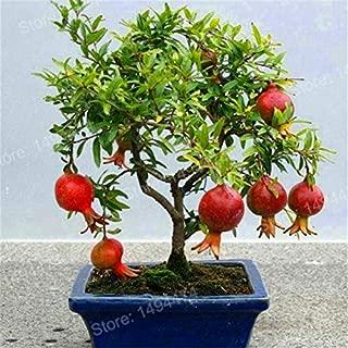 mini bonsai fruit tree