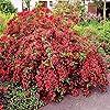 Portal Cool Weigelia Florida 'Bristol Ruby' Grandi impianti di Plug X 3 Hardy Fioritura arbusto #1