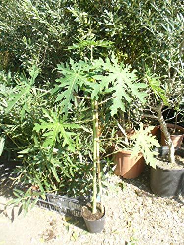 Papaya (Carica papaya), junger Baum ca. 75-100 cm, Melonenbaum,