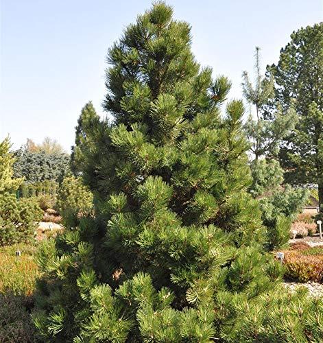 Bosnische Zwergkiefer Malinki 25-30cm - Pinus leucodermis