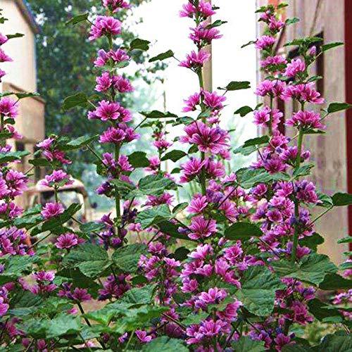 XINDUO Blumensamen winterhart mehrjährig,Four Seasons Garden Plant Mallow Seed-0,5 kg,Blumensamen für Garten Balkon