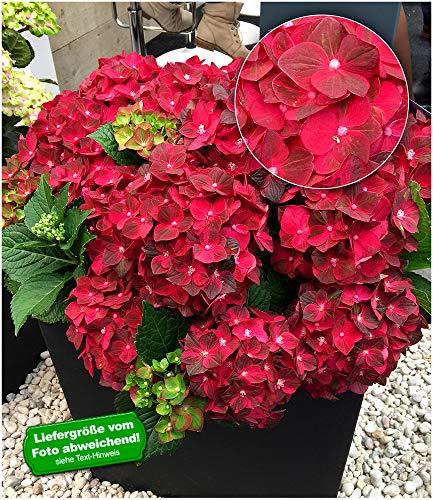 "BALDUR-Garten Freiland-Hortensie""Ruby Tuesday"" 12 cm-Topf 1 Pflanze Hydrangea macrophylla"