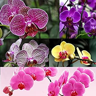 Higarden 10 colors flower seeds orchid seeds Butterfly orchid Phalaenopsis orchid like flowers