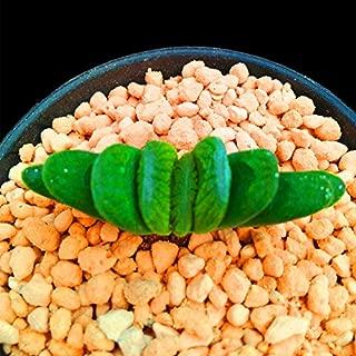Live Fat Succulent Plant Mini Succulents (Haworthia truncata)