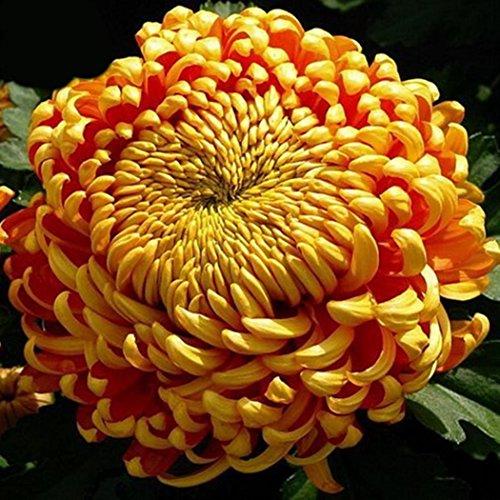 AIMADO Samen-Rarität 100 Stück Chrysantheme Samen bio blumensamen frühling bunt Blumen Wächst auf lockerem Gartenboden an sonniger Stelle