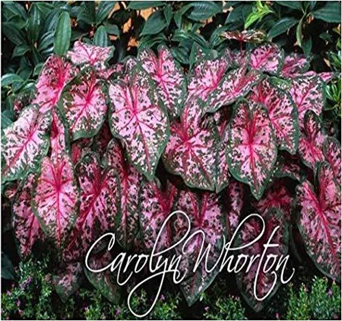 Urban Gardens Caladium Carylon Wharton (Pack of 3 Bulbs)