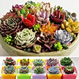 Seeds Package: 9 : 100Pcs Succulent Seeds Exotic Echeveria Stone Lithops Seeds Organic