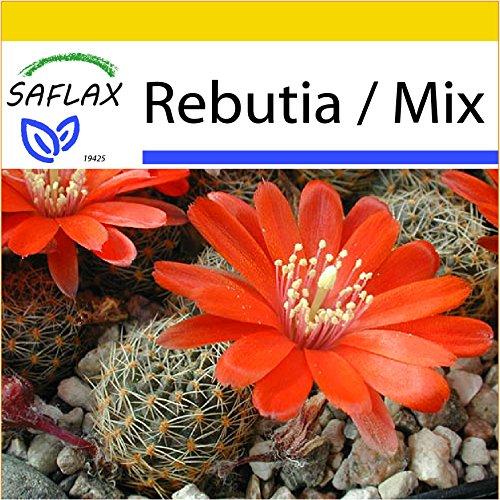 SAFLAX - Anzucht Set - Kakteen - Argentinischer Zwergkaktus - 40 Samen - Mit Mini-Gewächshaus, Anzuchtsubstrat und 2 Töpfen - Rebutia Mix