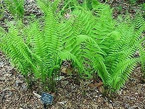 Combo 5 Ostrich Glade Fern Rhizome/Root- (Matteuccia struthiopteris)