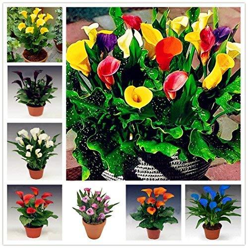 Acecoree Samenhaus- 100 stücke Calla Samen,Seltene Lilienzwiebeln Samen Blumentöpfe Mehrjährige,Barkon Garten Zierblumen