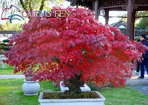 Bloom Green Co. 20 Semillas/paquete Semillas de arce rojo japonés Color del arco iris raro * Muy hermosas Plantas de Japón Nuevas semillas Jardín Reloj Bonsai Ãrbol Regalo: 9