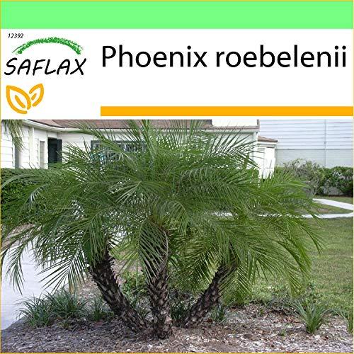 SAFLAX - Palmera datilera enana - 25 semillas - Phoenix roebelenii
