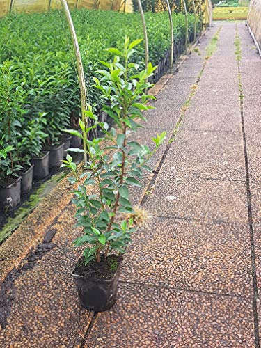 Portugiesische Lorbeerkirsche Prunus laurocerasus Angustifolia T.B. 2 L 70-80 cm 10 Stück