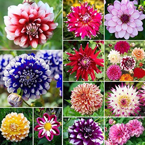 Mix Color Rare Dahlia Seeds for Outdoor Garden Potted Flower Plants