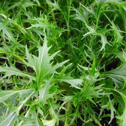 Mustard Mizuna - 250 Samen