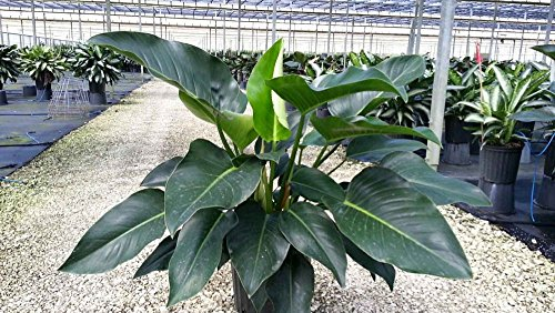 Best Indoor Water Plants -PHILODENDRON PLANT