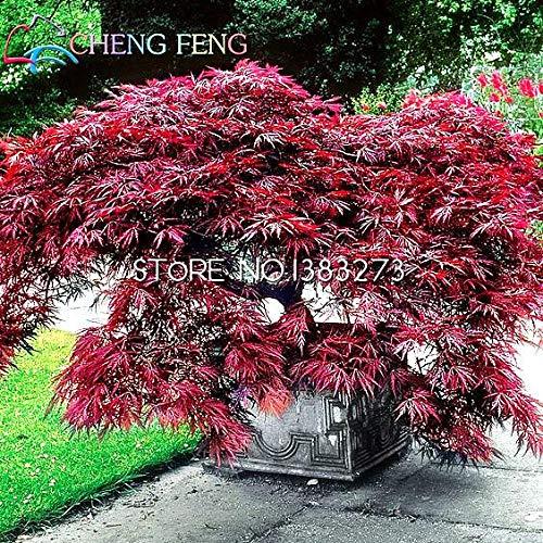 Shopmeeko 30 stücke Japanische Rote Ahorn pflanzen Seltene Regenbogenfarbe Sehr Schöne Japan Pflanzen Für Diy Hausgarten Bonsai Baum Geschenk Freies Shippin: Burgund