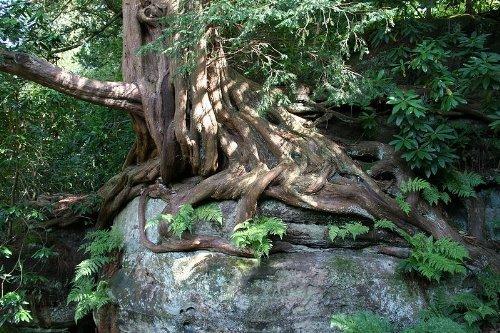 Eibe 20 Samen -Taxus baccata- (Heimischer Baum - Winterhart) Auch Bonsai geeignet