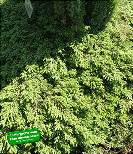 BALDUR-Garten Bodendecker Kriech-Wacholder 'Green Carpet', 1 Pflanze Juniperus communis