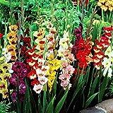 Adolenb Seeds House- 50pcs Gladiolus Géant Collection, Jardin Perroquet Gladiolus Mélange Oignons Glaïeul Fleurs Graine Hardy Vivaces Fleurs Ornementales Pour Barkon, Jardin