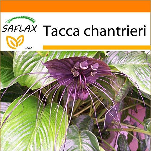 SAFLAX - Garden in the Bag - Fledermausblume - 10 Samen - Mit Anzuchtsubstrat im praktischen, selbst aufstellenden Beutel - Tacca chantrieri