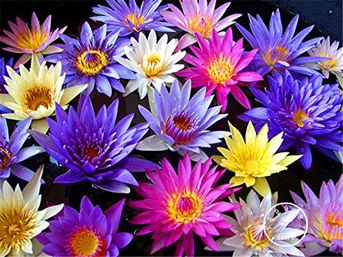 Plus vendu! 1 Pcs / Bag Assorted nénuphar graines Corlorful graines de fleurs Bonsai plante en pot pour le jardin, grandir facile