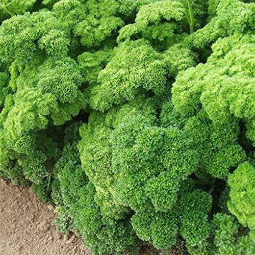 Suffolk herbes - persil bio Grune Perle - 300 graines