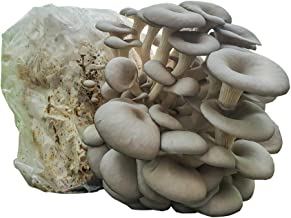 Grow Your Own Mushrooms Kit - Colonized Blue Oyster Mushrooms - Indoor Grow Kit - Up to 4lbs