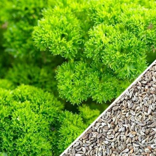 500 graines - Heirloom Frisé mousse vert Persil - Petroselinum crispum
