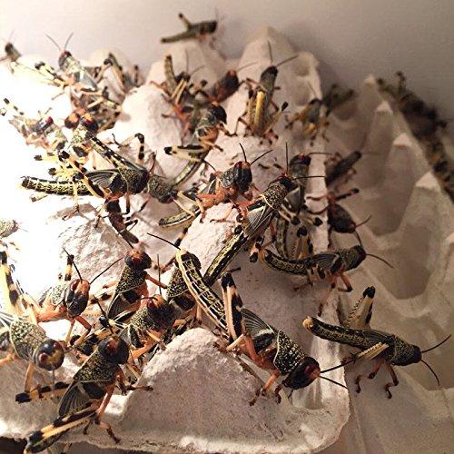 Terra-Discount Großpackung Wüstenheuschrecken subadult ca.100 Stück -Futterinsekten,Futtertiere