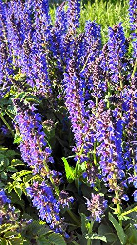 Salvia nemerosa 'May Night' (Meadow Sage) Perennial, purple flowers, 1 - Size...